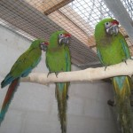 soldier-macaw (11)